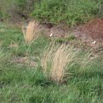 Culms of Little Bluestem