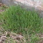 Culms of Downy Brome