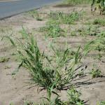 Growth Habit of Witchgrass