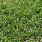 Culms of Dallisgrass