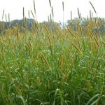 Culms of Yellow Foxtail