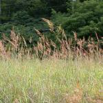 Culms of Yellow Indiangrass