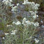 Flowers of Pearly-Everlasting