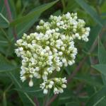 Flowers of Hemp Dogbane