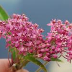 Flowers of Swamp Milkweed