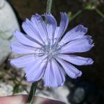 Flowers of Chicory