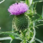 Flowers of Bull Thistle