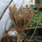 Flowers of Wild Carrot