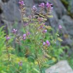 Flowers of Hoary Tickclover