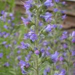 Flowers of Blueweed