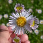 Flowers of Fleabane