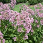 Flowers of Eastern Joe-Pye Weed