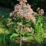 Flowers of Hollow-Stemmed Joe-Pye Weed