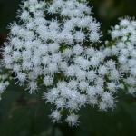 Flowers of White Snakeroot
