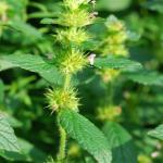 Flowers of Common Hempnettle