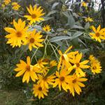 Flowers of Jerusalem Artichoke