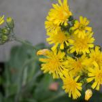 Flowers of Hawkweed