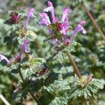 Flowers of Henbit