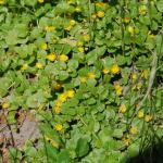 Flowers of Moneywort