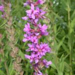 Flowers of Purple Loosestrife