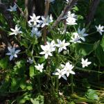 Flowers of Star-of-Bethlehem