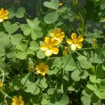 Flowers of Creeping Woodsorrel