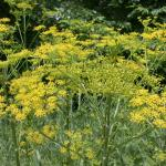 Flowers of Wild Parsnip