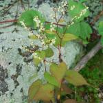 Flowers of Black-Fringed Knotweed
