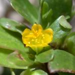 Flowers of Common Purslane