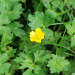 Flowers of Creeping Buttercup