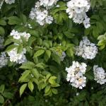 Flowers of Multiflora Rose