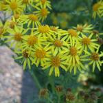 Flowers of Tansy Ragwort