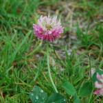 Flowers of Alsike Clover