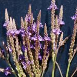 Flowers of Blue Vervain