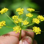 Flowers of Golden Alexanders