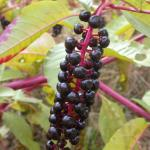 Fruits of Common Pokeweed