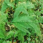 Leaves of Yarrow
