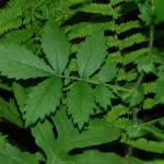 Agrimony leaves