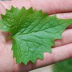 Leaves of Garlic Mustard