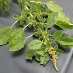 Leaves of Livid Pigweed