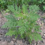 Leaves of Common Ragweed