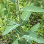 Leaves of Hemp Dogbane