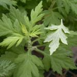 Leaves of Mugwort