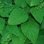 Leaves of Horsebalm