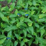 Leaves of Asiatic Dayflower