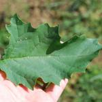 Leaves of Jimsonweed