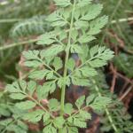 Leaves of Wild Carrot
