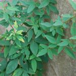 Leaves of Hoary Tickclover
