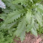 Leaves of Pilewort