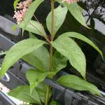 Leaves of Spotted Joe-Pye Weed